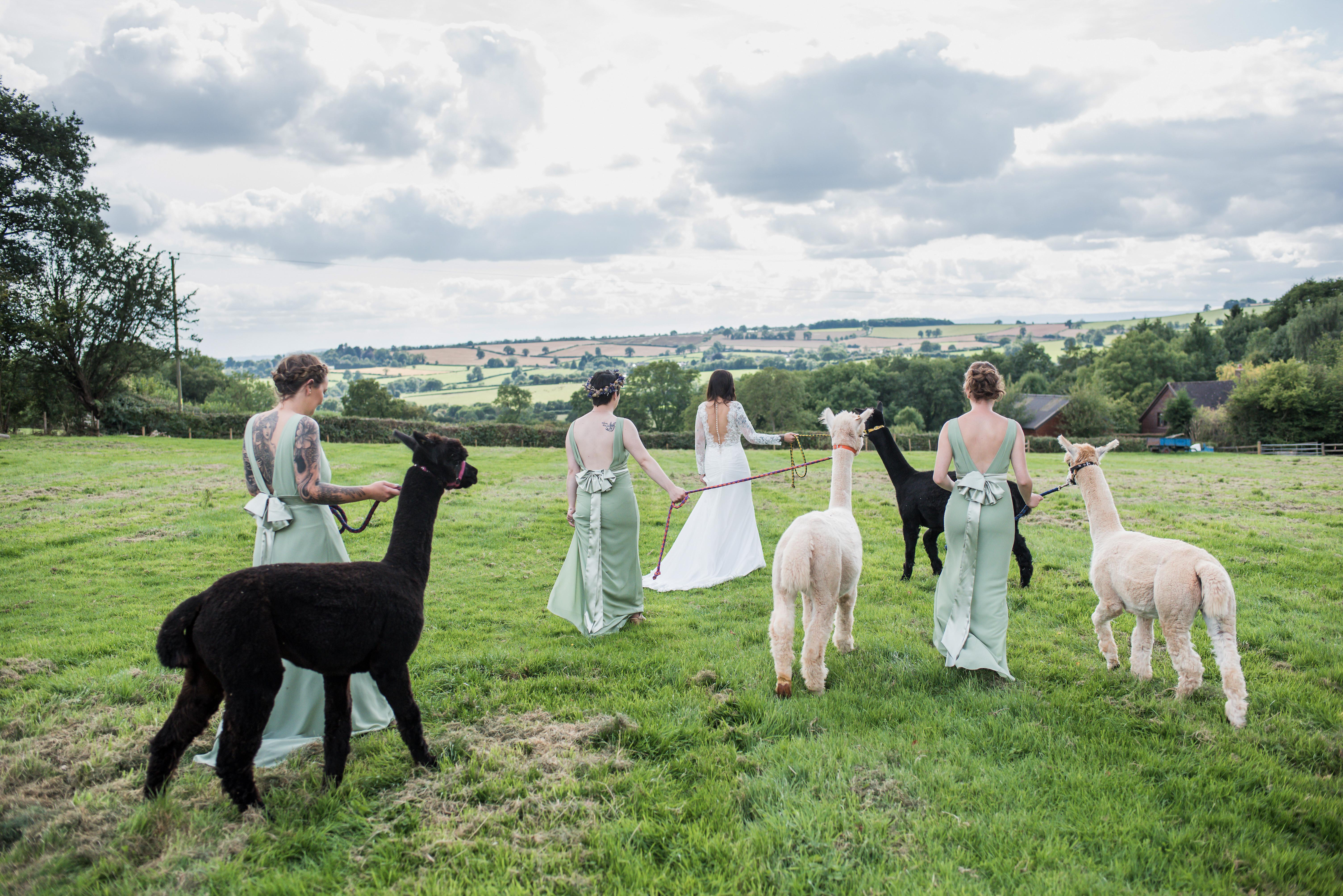 Wedding Alpacas Hereford